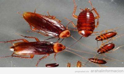 AionSur Cucaracha-glucosa-400x240 Cuando comienza a calentar el sol, llega la Blatella Germánica o Cucaracha alemana Empresas Medio Ambiente