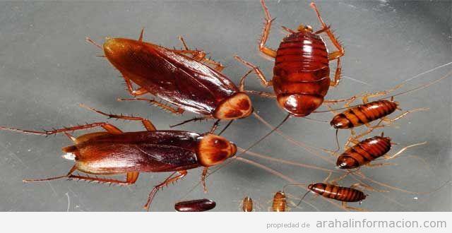 AionSur Cucaracha-glucosa Cuando comienza a calentar el sol, llega la Blatella Germánica o Cucaracha alemana Empresas Medio Ambiente