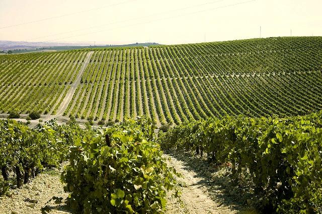 AionSur macharnudo_2 Agricultura publica el listado de adjudicatarios de nuevas plantaciones de viñedo para el año 2018 Medio Ambiente