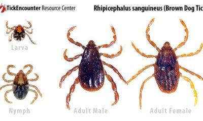 AionSur rhipicephalus_sanguineus-400x240 Garrapatas y pulgas, diferencias y peligros para la salud humana Análisis