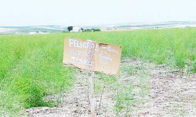 """AionSur sdsd-2-400x240 Alertan de la posible venta de espárragos """"tóxicos"""" en Marchena Marchena Provincia"""