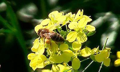 AionSur 10996672_10205309393110065_5985469068991391100_n-400x240 Un estudio demuestra que los pesticidas de Syngenta reducen un 40% la fertilidad de las abejas Medio Ambiente