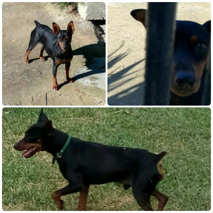 AionSur IMG-20170127-WA0053 Roban tres perros raza pinche y maquinaria de jardín en una parcela de Llano Verde Sucesos