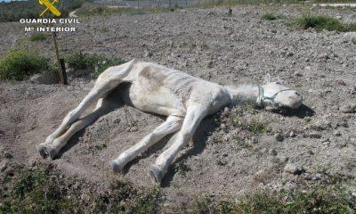 AionSur CABALLO-ABANDONADO-400x240 La Guardia Civil localiza una yegua abandonada con signos de hambruna en Estepa Estepa Provincia Sociedad