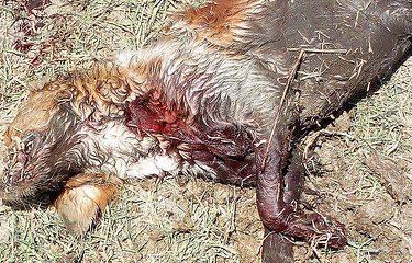 AionSur 36041939786_2ca6562f2c-375x240 Matan con un disparo a bocajarro a un perro en Arahal Sucesos