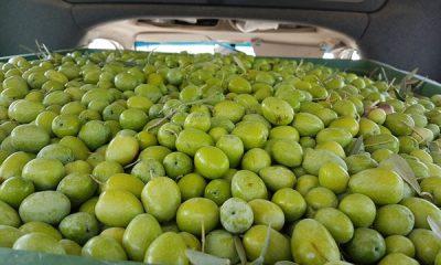 AionSur 20170921_141643-400x240 ASAJA-Sevilla estima una producción nacional de aceituna de verdeo de 502.000 toneladas Agricultura