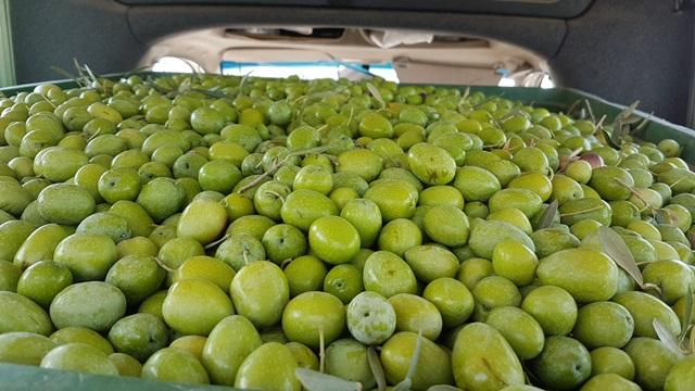 AionSur 20170921_141643 ASAJA-Sevilla estima una producción nacional de aceituna de verdeo de 502.000 toneladas Agricultura