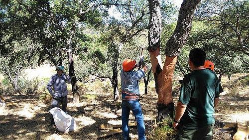 AionSur 36464569513_490f7fa9e6 El 20 % del corcho andaluz se queda sin recoger en el árbol Agricultura
