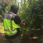 Desmantelada una plantación de marihuana en Coria del Río