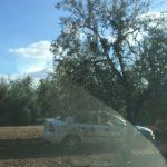 5 robos o hurtos de aceitunas ha sufrido una familia de agricultores de Arahal en menos de 2 semanas