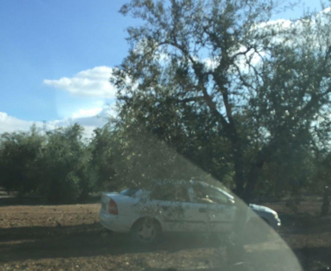 AionSur 71a7ffb1-2e7c-465d-b577-626af5ad10bf 5 robos o hurtos de aceitunas ha sufrido una familia de agricultores de Arahal en menos de 2 semanas Sucesos