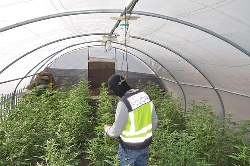 AionSur 38579054491_8f771c75cb Detenidas seis personas dedicadas al cultivo a gran escala de marihuana Dos Hermanas Provincia