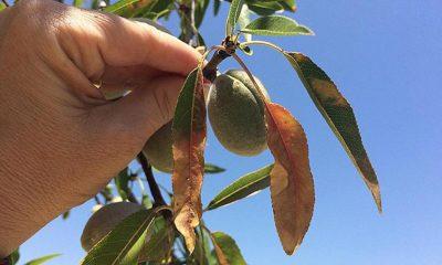 AionSur xylella-400x240 Presentan un proyecto destinado a prevenir la Xylella Fastidiosa en el olivar Agricultura Economía