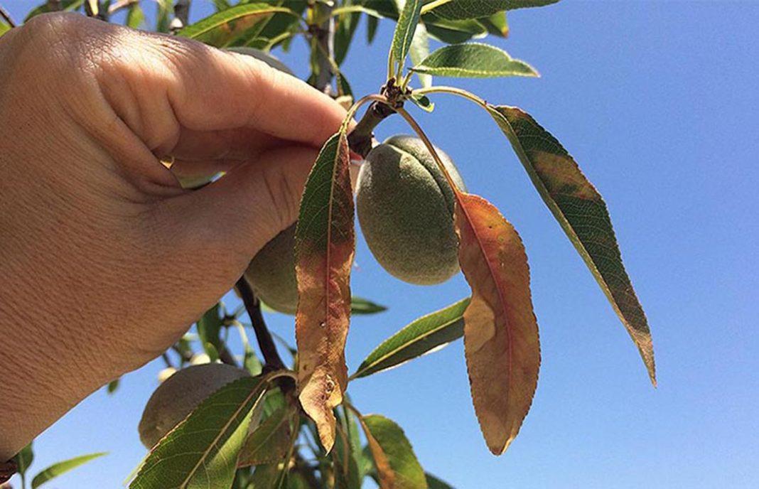 AionSur xylella Presentan un proyecto destinado a prevenir la Xylella Fastidiosa en el olivar Agricultura Economía