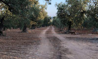 AionSur Arahal-olivos-variedades-400x240 Agricultura reúne nuevas variedades locales de olivo no identificadas para su colección mundial Andalucía