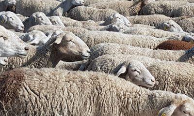 """AionSur ganado-crisis-coag-400x240 Los cabreros afrontan la nueva campaña """"ordeñando pérdidas"""", según COAG Agricultura"""