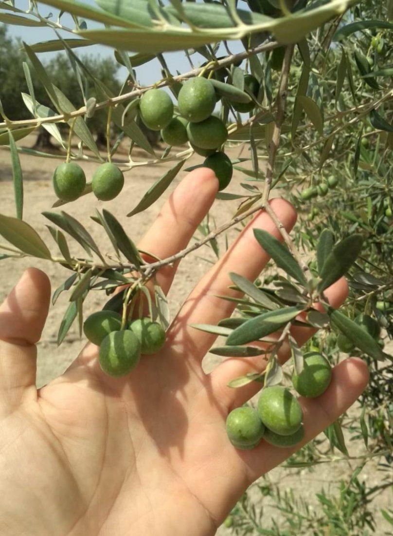 """AionSur verdeo-Arahal-cosecha2018-1 El olivar se sacude la sequía para """"capear"""" los bajos precios Agricultura Empresas"""