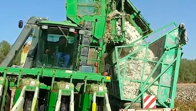 AionSur Algodon Sevilla vuelve a liderar la producción nacional de algodón, con 40.000 hectáreas Agricultura