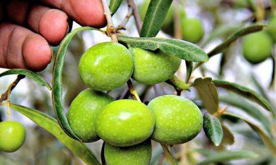 """AionSur aceituna-Arahal-coag-400x240 COAG Andalucía dice que la IGP defenderá """"una producción de excelencia"""" y la economía de los pueblos Agricultura"""