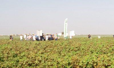 AionSur algodon-lebrija-400x240 La producción de algodón en Andalucía superará las 200.000 toneladas Agricultura Economía