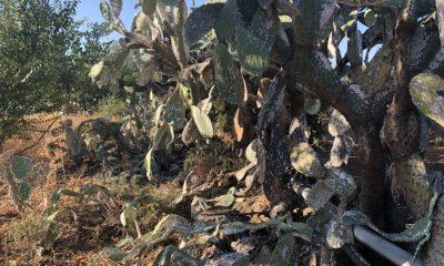 AionSur chumberas-cochinilla-carmin-400x240 Las chumberas, que llevan 5 siglos en Andalucía, se mueren porque no están consideradas plantas autóctonas Medio Ambiente  destacado