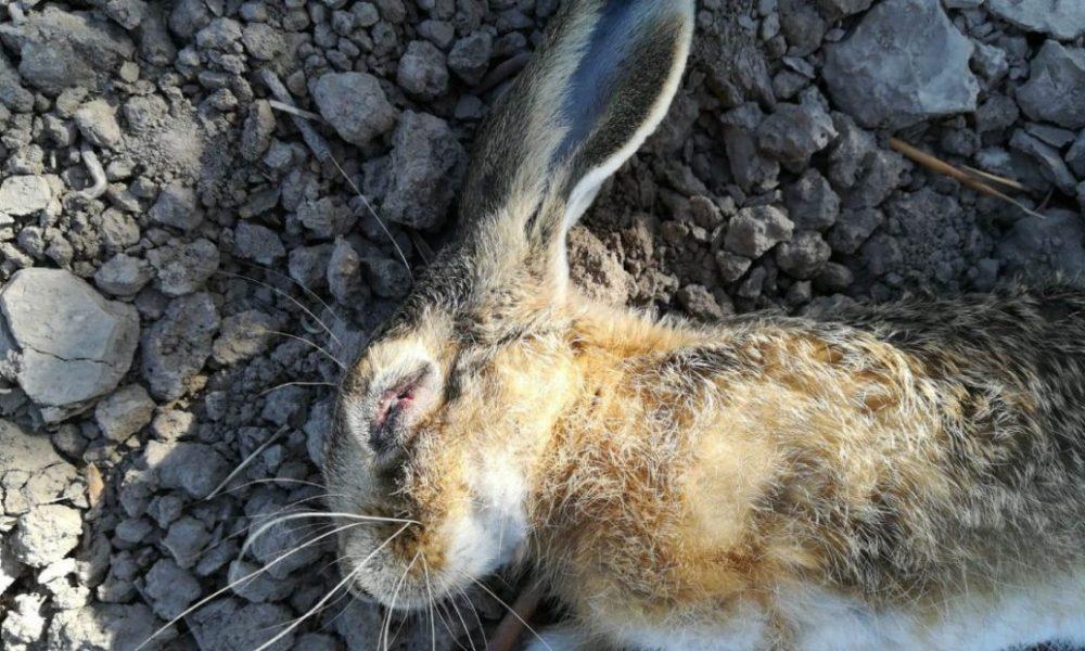 AionSur Arahal-liebre-mixomatosis-1000x600 Los galgueros de Arahal deciden no cazar ante los estragos provocados en las liebres por la mixomatosis Animales Medio Ambiente  destacado