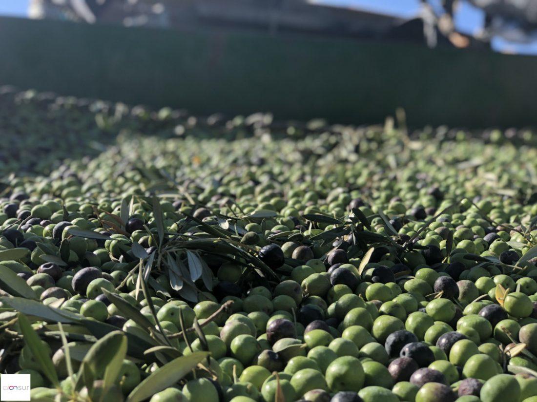 AionSur aceitunas-Arahal-IGP Conceden 300.000 euros en ayudas para agricultura y apoyo a la gestión de denominaciones de calidad Agricultura