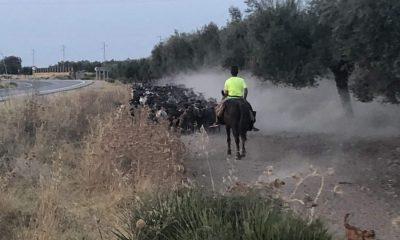 AionSur arahal-ganado-campo-400x240 La Junta envía primer pago de seguros agrarios a agricultores y ganaderos Agricultura
