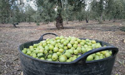 """AionSur aceitunas-Arahal-2018-400x240 Arahal: una campaña de verdeo """"media"""" desarrollada al compás que ha marcado la lluvia Agricultura destacado"""