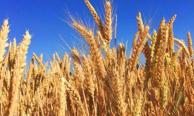 AionSur cebada-cosecha-2018-400x240 Agricultura prevé aumento en la producción de la cebada y sus derivados Agricultura