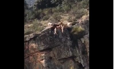 AionSur perro-caza-videoviral-400x240 Un vídeo de 10 perros despeñándose por un barranco en una cacería se hace viral Animales