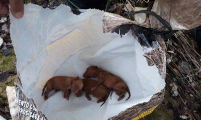 AionSur perros-abandonos-ElAmparo-400x240 El Amparo del Sur se hace cargo de tres cachorros tirados al Guadalquivir en Alcolea del Río Animales destacado
