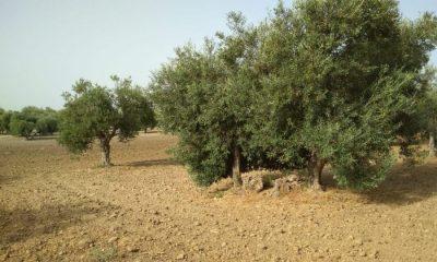 AionSur olivar-regantes-Arahal-400x240 La Comunidad de Regantes de Arahal dispone de agua de la depuradora para regar 450 hectáreas de olivar