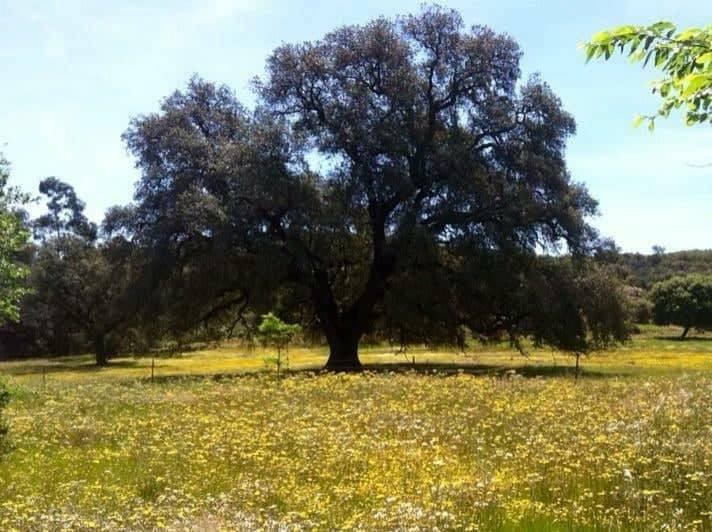 AionSur Arbol_Madrono El árbol que tiene pendiente a todo un pueblo de Sevilla de que no se seque Provincia Sociedad
