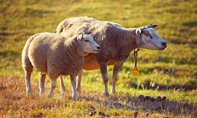 AionSur ganaderia-400x240 Las ganaderías de Alcalá de Guadaíra deberán estar a más de un kilómetro del pueblo Alcalá de Guadaíra Sociedad