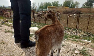 AionSur Marchena-finca-ganado-abandonado-400x240 El Ayuntamiento de Marchena se hace cargo de 150 animales abandonados por la detención del dueño de la finca Marchena Sucesos  destacado