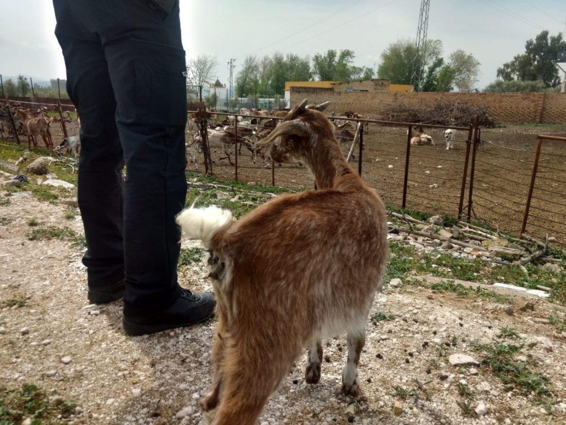 AionSur Marchena-finca-ganado-abandonado El Ayuntamiento de Marchena se hace cargo de 150 animales abandonados por la detención del dueño de la finca Marchena Sucesos  destacado