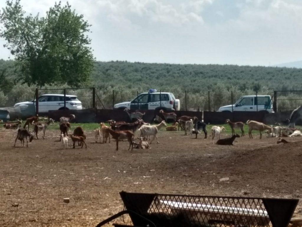 AionSur finca-Marchena-ganado-abandonado-1024x769 El Ayuntamiento de Marchena se hace cargo de 150 animales abandonados por la detención del dueño de la finca Marchena Sucesos  destacado