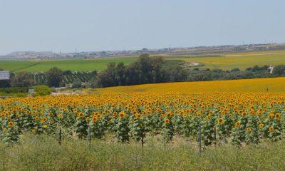 AionSur Girasoles1-400x240 El girasol abre campaña con menos hectáreas y buenas perspectivas por la lluvia caída Agricultura Andalucía