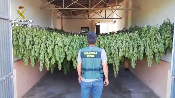 AionSur Lebrija-droga-El-Cuervo Dos detenidos por cultivar de 1.200 plantas de marihuana en un invernadero de El Cuervo Sucesos