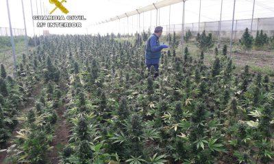 AionSur MARIHUANA-INCAUTADA-400x240 La Guardia Civil desmantela en Marchena una plantación de casi 3.000 plantas de marihuana Marchena Sucesos  destacado