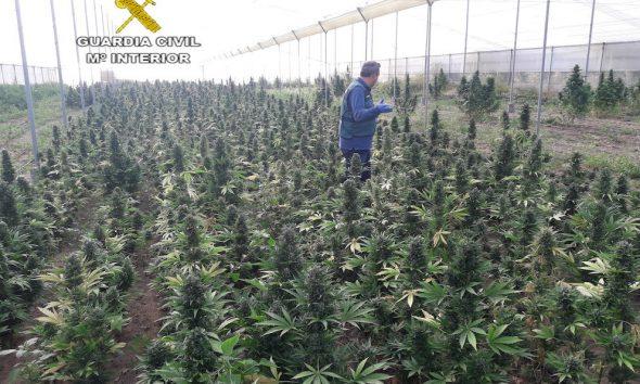 AionSur MARIHUANA-INCAUTADA-590x354 La Guardia Civil desmantela en Marchena una plantación de casi 3.000 plantas de marihuana Marchena Sucesos  destacado