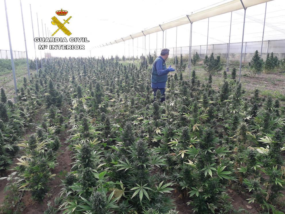AionSur MARIHUANA-INCAUTADA La Guardia Civil desmantela en Marchena una plantación de casi 3.000 plantas de marihuana Marchena Sucesos  destacado
