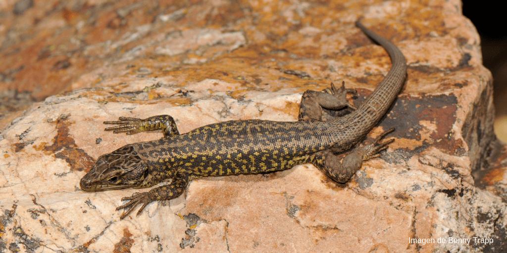 AionSur Lagartija-batueca-Benny-Trapp-CC-3.0-compressor El Gobierno aumenta el nivel de protección legal de 27 especies de fauna y flora amenazadas en España Animales Medio Ambiente Naturaleza