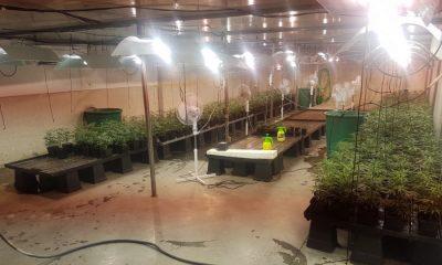"""AionSur marihuana-aznalcollar-400x240 Cuatro detenidos por producir marihuana que dijeron que era para fines """"lúdicos"""" Sucesos"""
