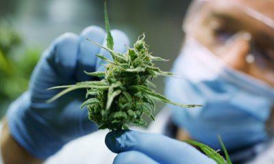 AionSur Cannabis-Marihuana-400x240 Sevilla producirá marihuana legal en 2020 Andalucía Salud