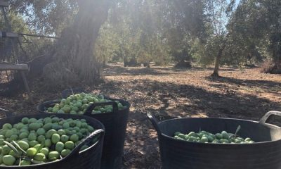 AionSur campaña-verdeo-2019-400x240 La sequía y la vecería, condicionantes de la próxima campaña del verdeo Agricultura Arahal destacado