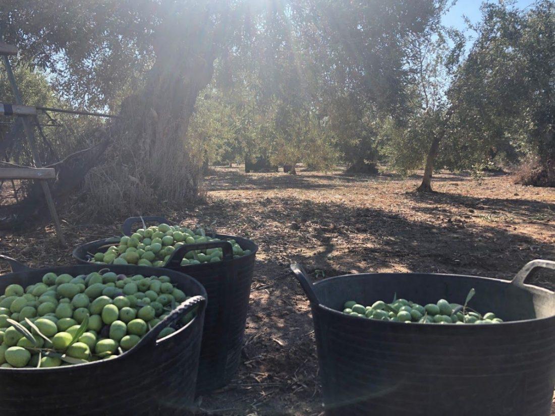 AionSur campaña-verdeo-2019 La sequía y la vecería, condicionantes de la próxima campaña del verdeo Agricultura Arahal  destacado