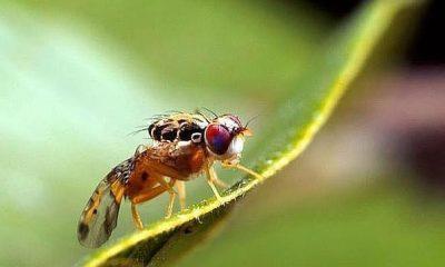 AionSur mosca-olivo-400x240 La UE prohíbe el principal insecticida contra la mosca del olivo Agricultura Economía
