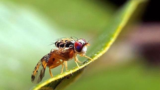 AionSur mosca-olivo La UE prohíbe el principal insecticida contra la mosca del olivo Agricultura Economía